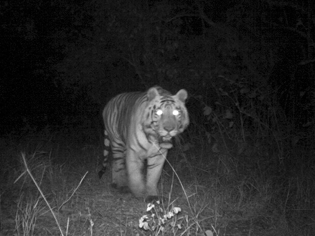 This tiger was caught on one of eMammal's camera traps in Mumbai, India.