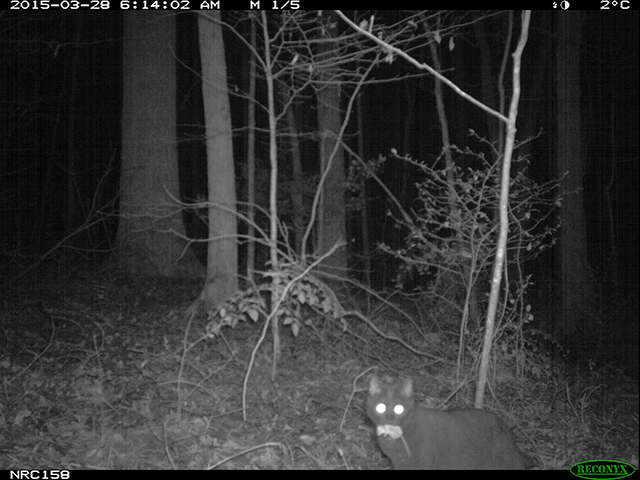 Mouse, meet cat. The eMammal research project looked at the roaming and hunting habits of domestic cats.