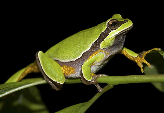 Pine Barrens Treefrog by Melissa Dowland
