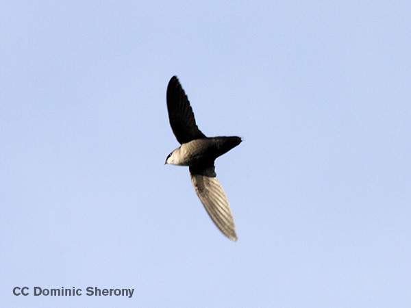 Chimney Swifts by Dominic Sherony. Creative Commons Licensed.