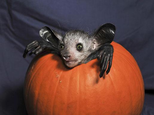 Aye-aye in a pumpkin