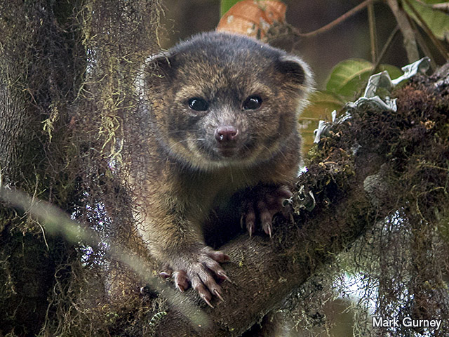 Olinguito photo by Mark Gurney