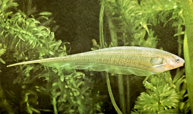 Glass Knifefish. Photo by Luis Ruiz Berti, CC BY-SA 3.0.