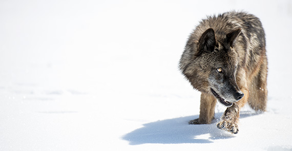 Wild Yellowstone: Frozen Frontier - still of a wolf in the snow