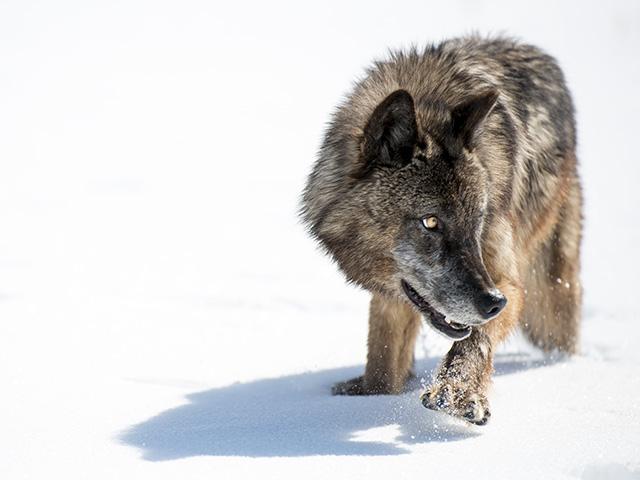 Wild Yellowstone: Frozen Frontier