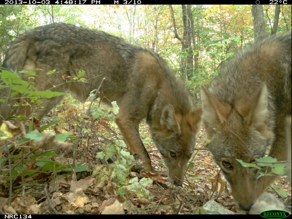 Coyotes on eMammal camera
