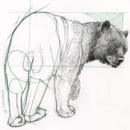 Black bear drawing by Patricia Savage.