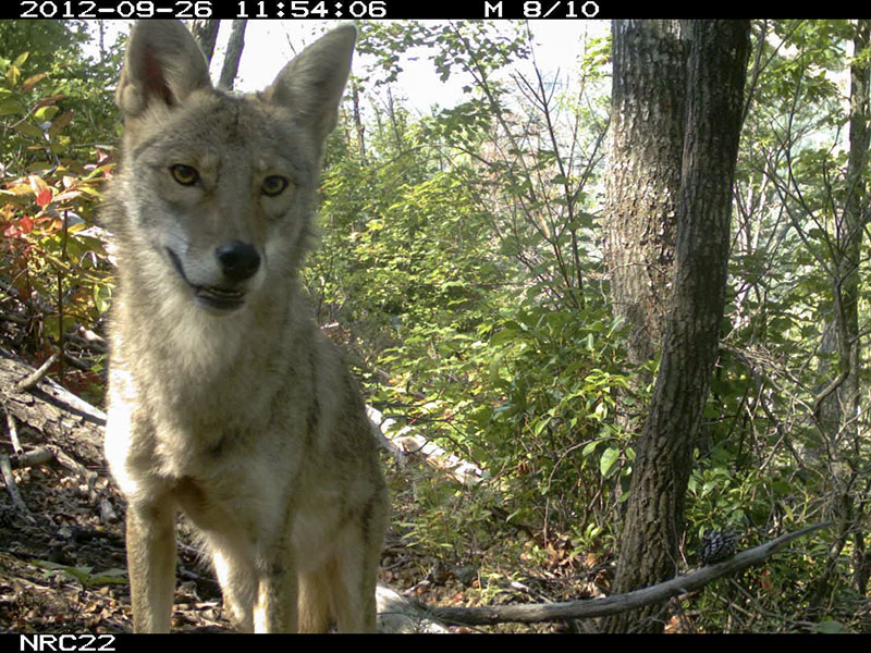 Eastern coyote caught on a camera trap photo.
