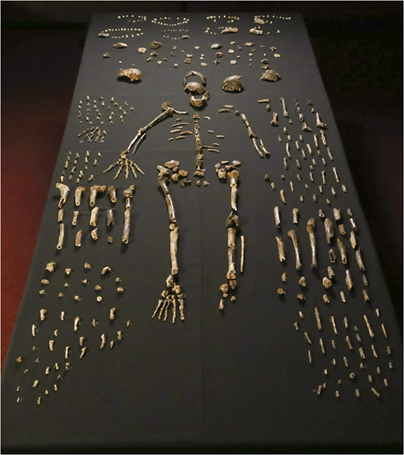 Homo naledi skeletal specimens. Photo by the Lee Roger Berger research team.