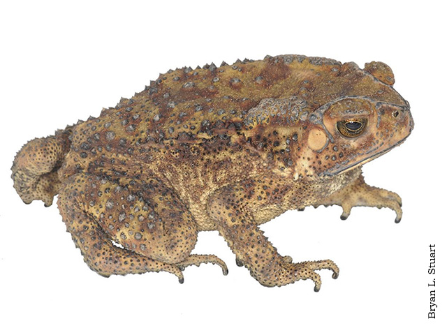 Asian Common Toad (Duttaphrynus melanostictus) in Laos by Brian L. Stuart.