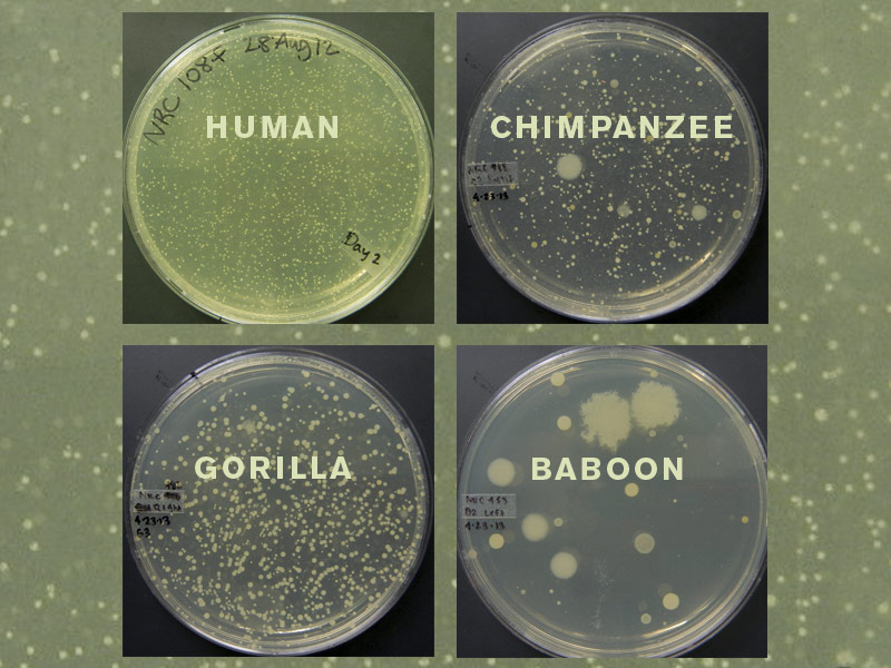 Skin microbes from the armpits of a human subject and a chimpanzee, a gorilla, and a baboonfrom the North Carolina Zoo.