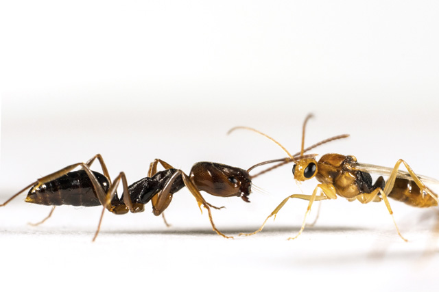 A worker (left) and male of the trapjaw ant species Odontomachus ruginodis. Photo credit: Adrian Smith.