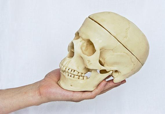 Hand holding a skull model.