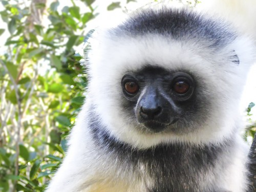 Future of Madagascar's large-seeded plants in doubt without lemurs