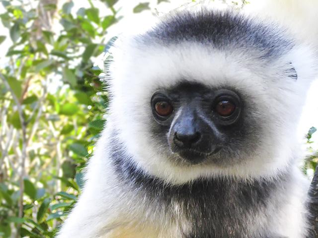 lemur close-up by Sarah Federman