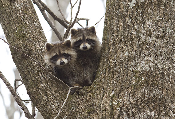 A pair of young raccoons in a tree. Photo by Melissa Dowland.