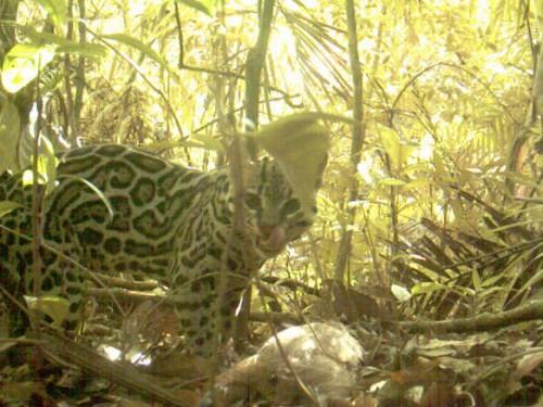 Stop that deer! Camera traps help conservationists track speeding wildlife