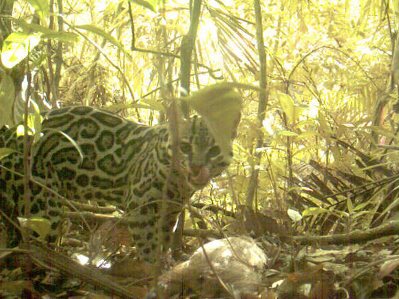 An ocelot with dinner, caught on camera trap in Panama.