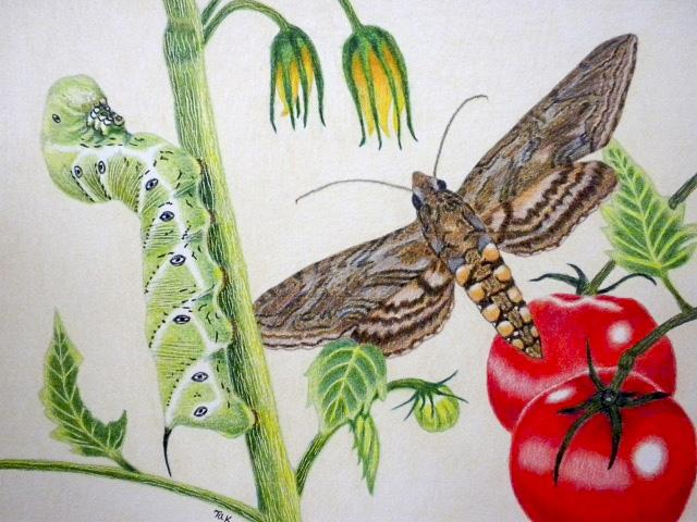 Tomato Hornworm by Korab