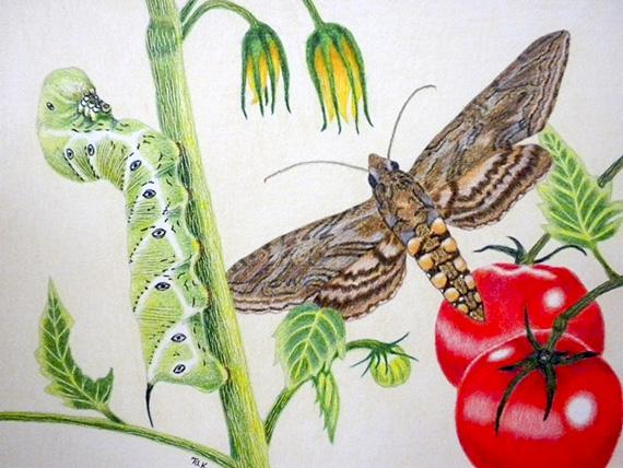 Tomato Hornworm drawing by Korab