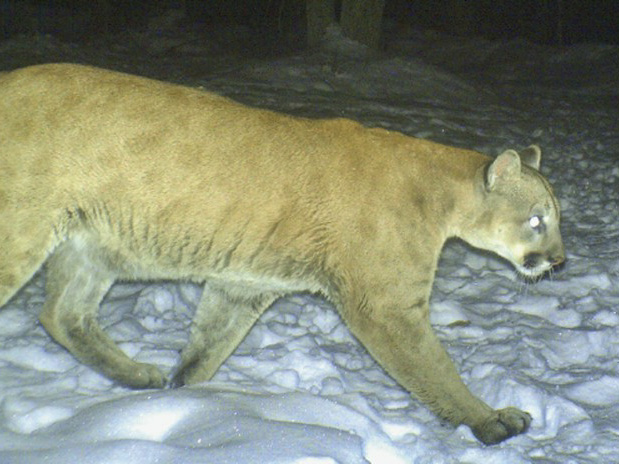 A Wisconsin camera trap photographed the male cougar on his record-setting trek from South Dakota to Connecticut. Faint spots in the animal's coat can still be seen, revealing the young age of this otherwise large male. (Photo credit: Lue Vang)