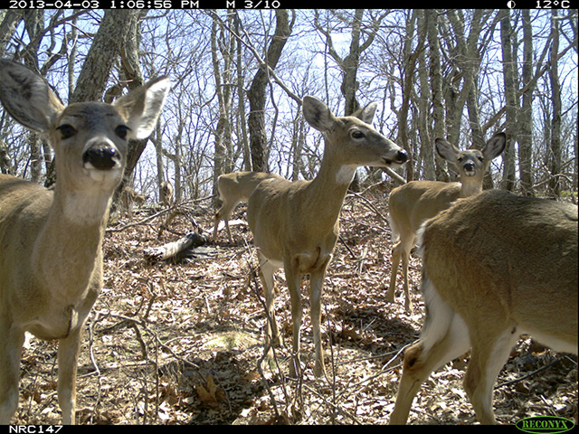 White-tailed deer, shown in a camera trap image from the study, did not avoid hiking trails. Deer were detected less often at sites where hunting was allowed.