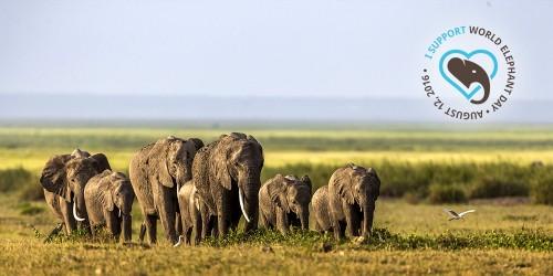 Elephant herd walking on the Amboseli plains, Kenya.