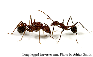 Long-legged harvester ant (Novomessor cockerelli). Photo by Adrian Smith.