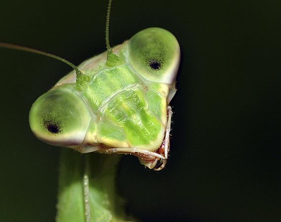 Praying Mantis close-up. Photo by Stan Lewis.