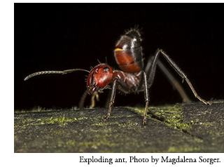 Exploding ant. (Colobopsis cylindricus complex, multiple species.) Photo by Magdalena Sorger.