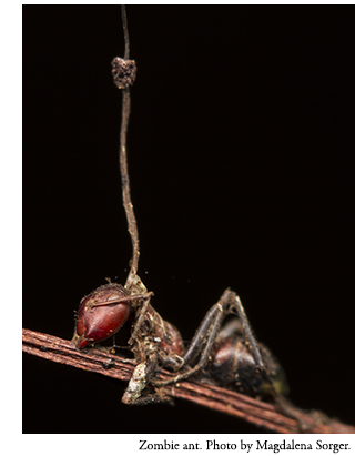 Zombie ant. Photo by Magdalena Sorger.