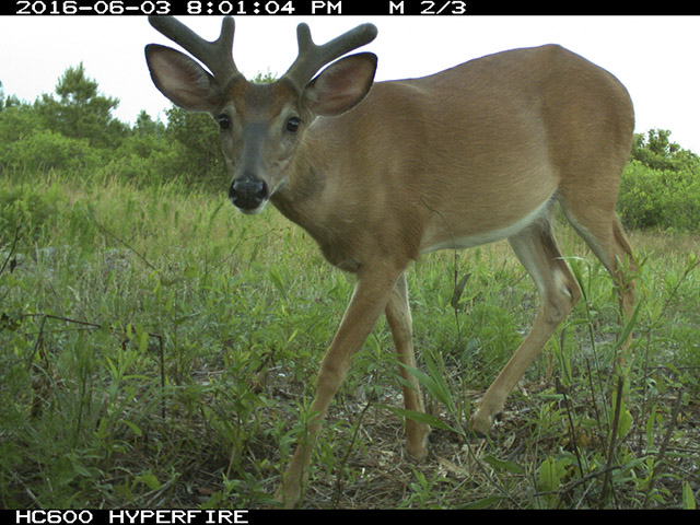 Camera trap photo of a young White-tailed Deer