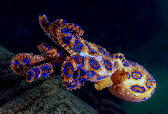 A deadly blue-ringed octopus