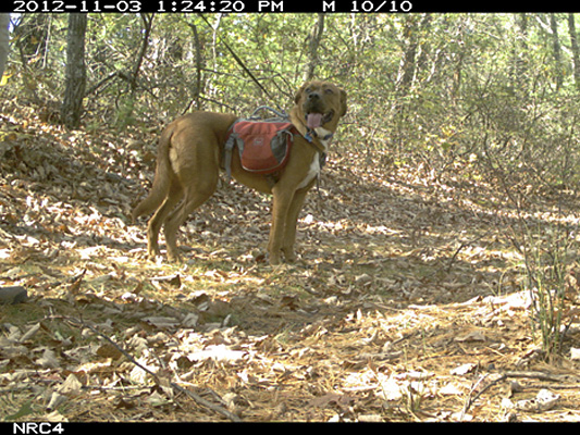 Camera trap photo of a dog on a trail.