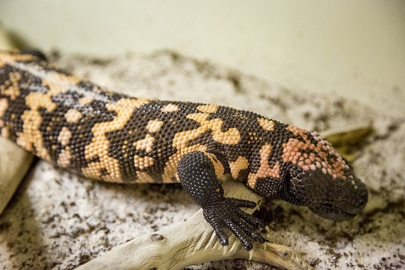 Gila monster, one of the animals on display at the Venomous Lizards table