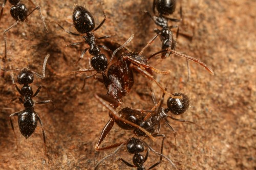 Lepisiota dispatching Pheidole ant