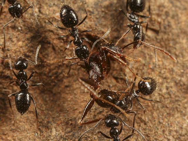 Lepisiota dispatching Pheidole ant. Photo: D. Magdalena Sorger.