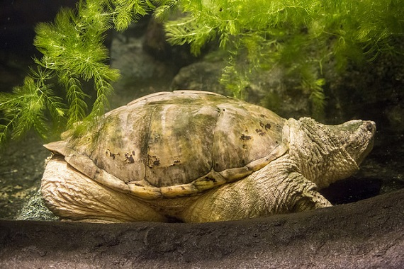 The largest snapping turtle ever found in North Carolina, which can be found at Reptile and Amphibian Day