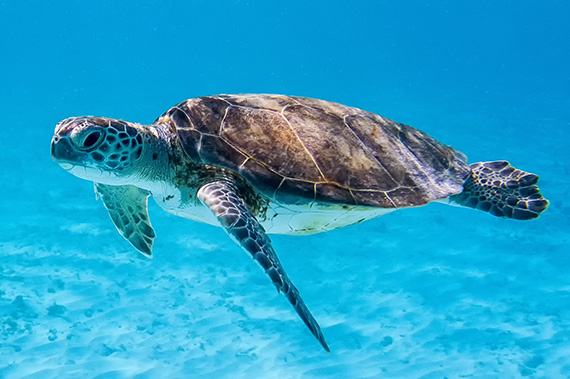 Green Sea Turtle (Chelonia mydas) swimming in Caribbean sea