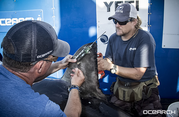 Attaching a tracking device to a great white shark. Photo courtesy Chris Fischer/OCEARCH.