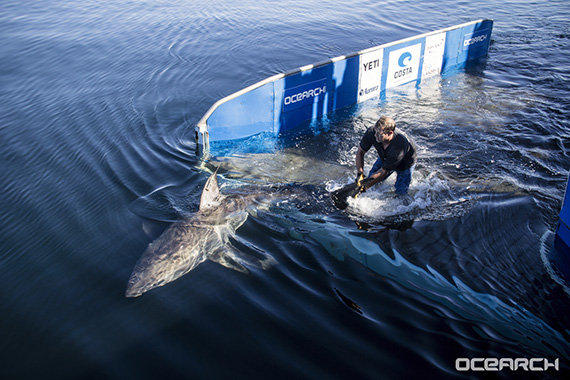 Releasing a tagged great white shark. Photo courtesy Chris Fischer/OCEARCH.