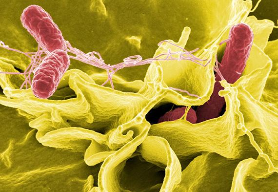 Salmonella bacteria. (NIH/NIAID)