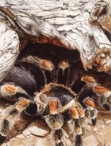 Painting of tarantula by Patricia Savage.