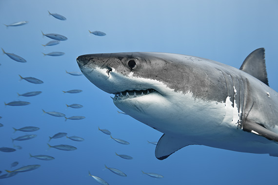 Great white shark in Pacific Ocean near the coast of Guadalupe Island, Mexico.
