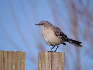 Mimus polyglottos, the Northern Mockingbird.