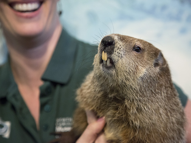 Museum groundhog Sir Walter Wally makes official weather prediction