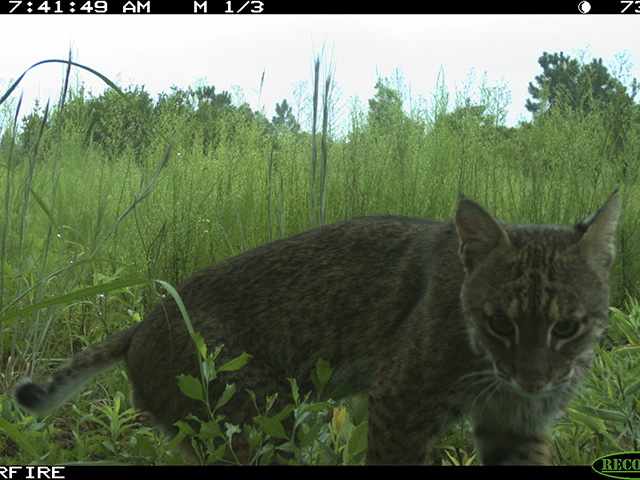 Bobcat in Hoffman Forest