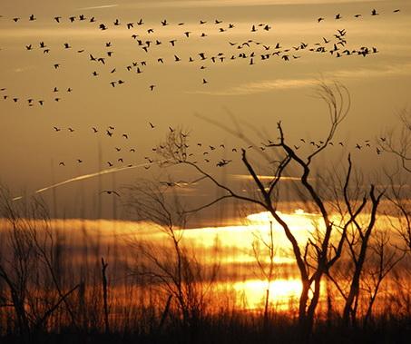 Snow Geese at sunset. Photo: Melissa Dowland/NCMNS.