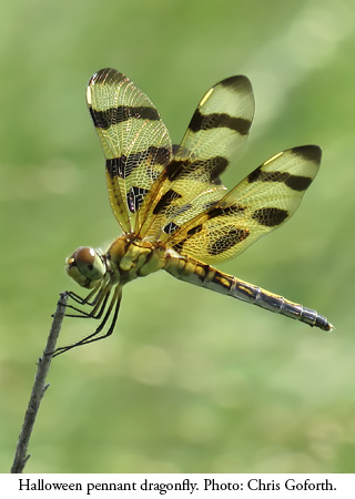 Halloween pennant dragonfly. Photo: Chris Goforth/NCMNS.