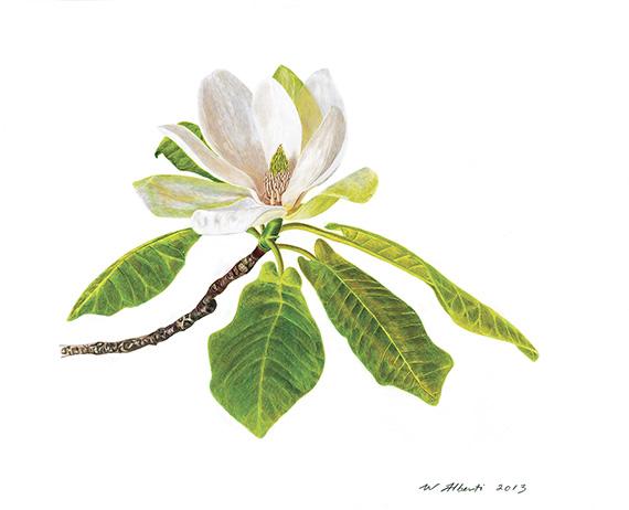 Mountain Magnolia by William T. Alberti.